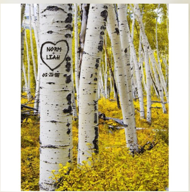 aspan tree painting