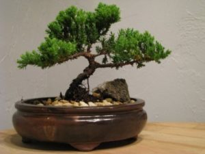 9greenbox-juniper-tree-bonsai-best-gift