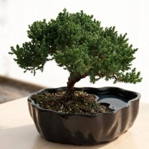 zen-reflections-juniper-bonsai