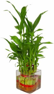Zaavic's Lucky Bamboo Plant